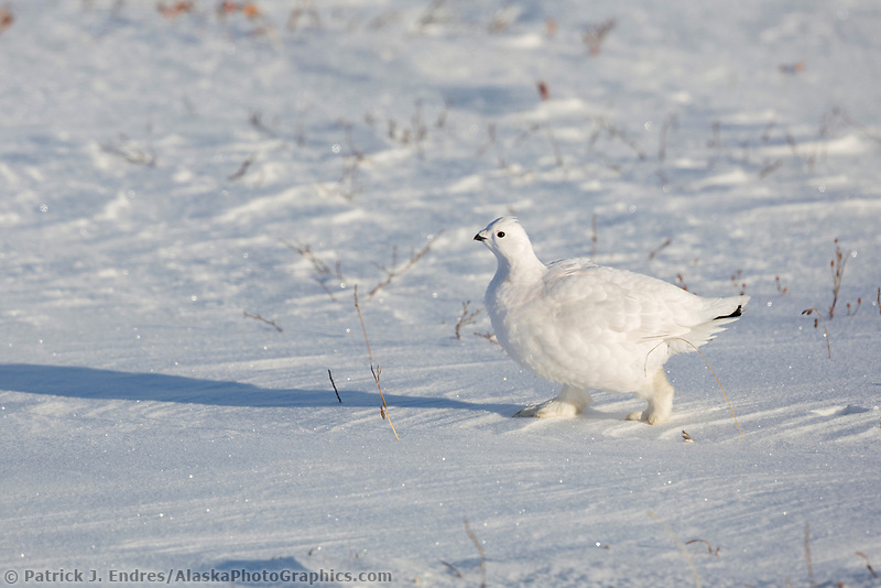 Willow ptarmigan on the snowy tundra of the Alaska Arctic.