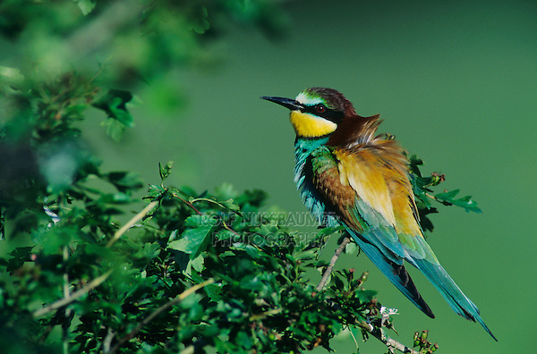 European Bee-eater, Merops apiaster, adult, Scrivia River, Italy, Europe