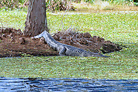 Late afternoon finds the alligator resting on a small island at Green Cay Wetlands, Boynton Beach Florida.