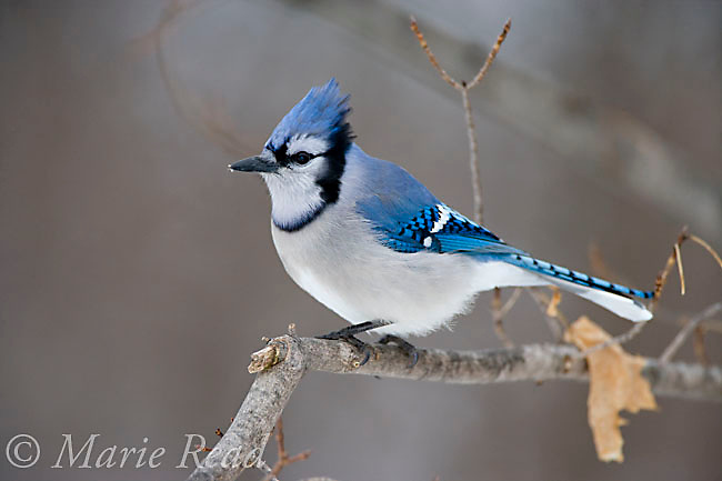 Blue Jay (Cyanocitta cristata) in winter, New York, USA