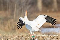 00881-00319 Whooping Crane (Grus americana) Federally endangered species feeding Effingham Co. IL