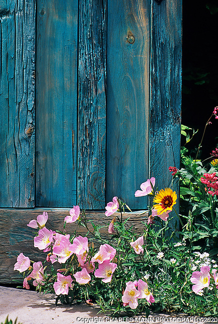 When colored with an azure blue stain, an aging wooden door becomes a romantic backdrop for a drift of pink Mexican primrose ( Primula speciosa) which peeks out the entrance to this Albuquerque garden.