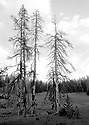 Scenery in black and white at Blewett Pass, Wenatchee Mountains dead trees in a meadow. Stock photography by Olympic Photo Group