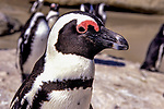 334 South African Penguins