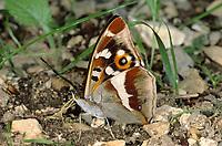 Großer Schillerfalter, Apatura iris, Purple Emperor, Le Grand Mars changeant