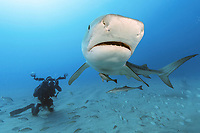 tiger shark, Galeocerdo cuvier, with remora or suckerfish, and underwater photographer, Jupiter, Florida, USA, Atlantic Ocean