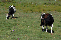 Allevamento. Breeding.Bovini.Cattle....