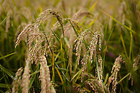 "Iwai rice grown by the Tsukinokatsura sake brewery, Fushimi, Kyoto, Japan, October 10, 2015. Tsukinokatsura Sake Brewery was founded in 1675 and has been run by 14 generations of the Masuda family. Based in the famous sake brewing region of Fushimi, Kyoto, it has a claim to be the first sake brewery ever to produce ""nigori"" cloudy sake. It also brews and sells the oldest ""koshu"" matured sake in Japan."