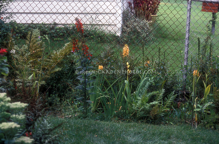 Hardy orchid in the garden Platanthera ciliaris, Yellow Fringed Orchid, an American native wildflower, with another native, Lobelia cardinalis, Cardinal flower, ferns, etc, with metal fence in yard