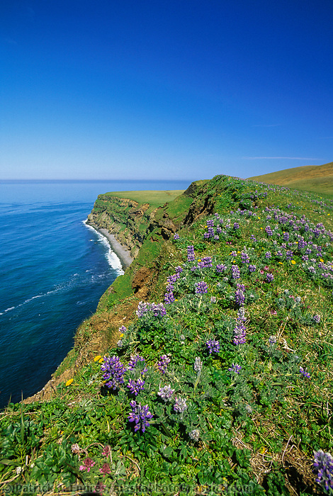 Lupine wildflowers along the ridge of the steep cliff coast of St. Paul, Pribilof Islands, Bering Sea, Alaska.