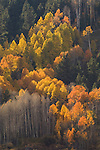Bare, golden, orange aspen trees, autumn, Hope Valley, Calif.