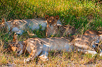 Pride of female lions, Nxai Pan National Park, Botswana.