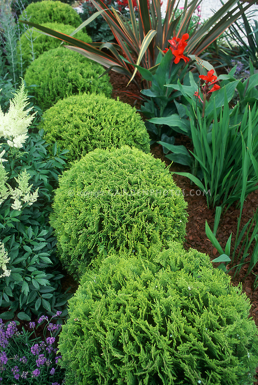 Thuja aka Thuya occidentalis Tiny Tim dwarf growing arborvitae with Astilbe and Canna  and Phormium in garden use