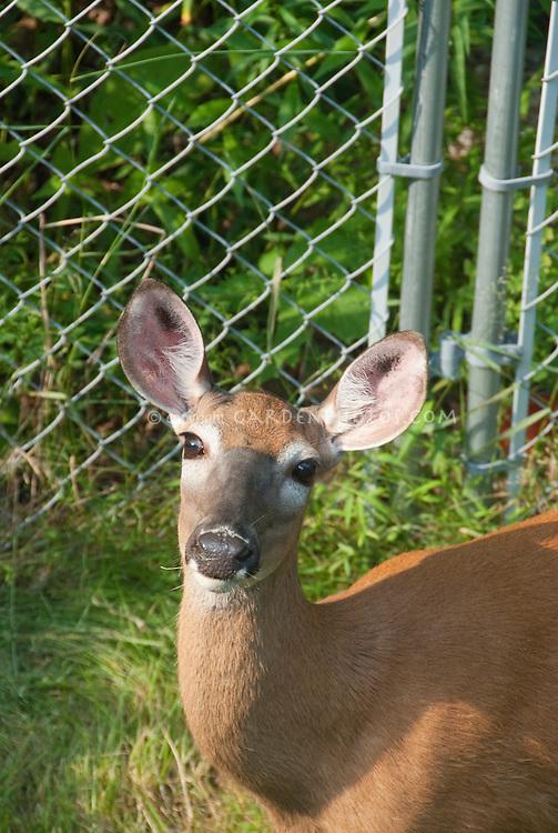 Deer in front of Metal Deterrent fence