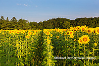 63801-07416 Sunflower field Sam Parr State Park Jasper County, IL