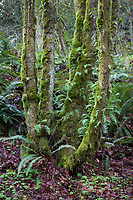 Fern Forest, Cascade Mountain Range, Washington State.