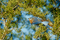 Female bluebird perched on evergreen branch