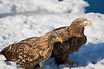 Shiretoko Peninsula, Hokkaido, Japan<br /> Steller's sea eagle immature (Haliaeetus pelagicus) on pack ice, near Rausu fishing village