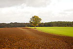Landscape with fields and single oak tree standing alone, Chisbury, Wiltshire, England, UK