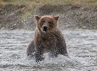 Brown bear shaking off water