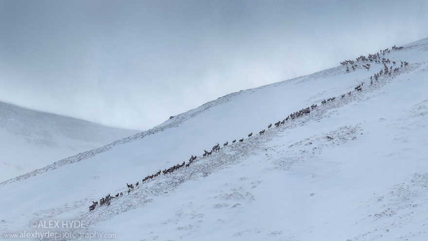 Red Deer herd {Cervus elaphus} moving over mountain ridge in heavy snow. Cairngorms National Park, Scotland. January. Digitally stitched panorama.