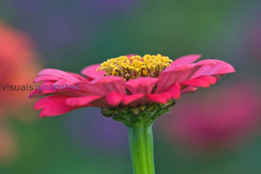 Zinnia flower, Zinnia elegans, Maine