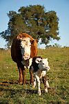 Cow No. 322 with her newborn calf taking its first steps, at the Stoney Creek Corrals of the Busi Ranch, Amador County, Calif.