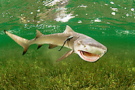 lemon shark, Negaprion brevirostris, .with sharksucker, Echeneis naucrates, .Little Card Sound, Biscayne Bay, .Key Largo, Florida (Atlantic).