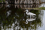 Snowy Egret and reflection at 10,000 Islands Nature Preserve in the Everglades.