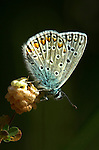 Common Blue butterfly, Polyommatus icarus, side view of wings, Provence.France....
