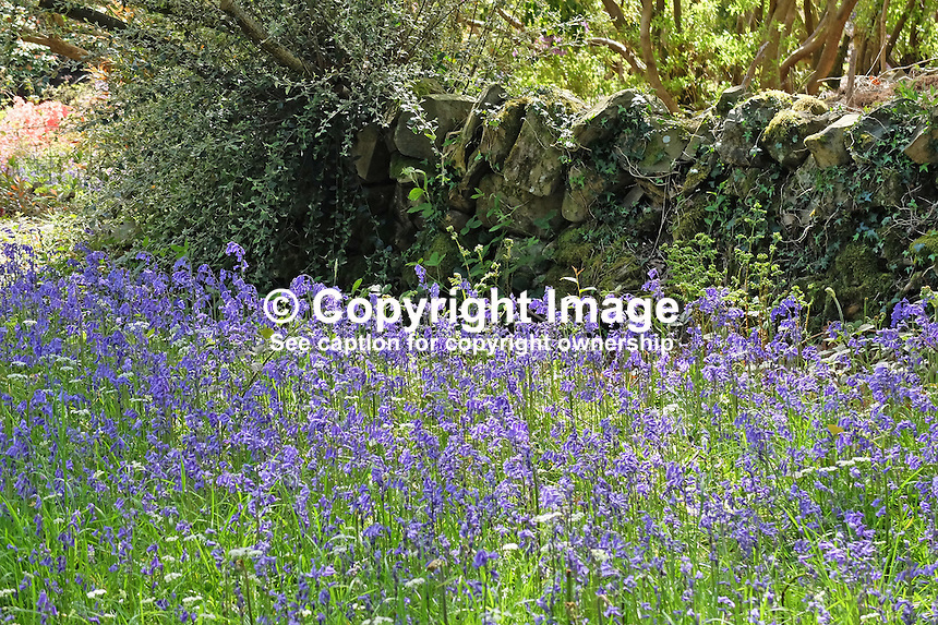 National Trust, Rowallane, Saintfield, N Ireland, UK, May, 2015, bluebells<br />