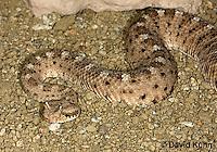 1120-0803  Sidewinder Rattlesnake (Horned Rattlesnake), Crotalus cerastes © David Kuhn/Dwight Kuhn Photography