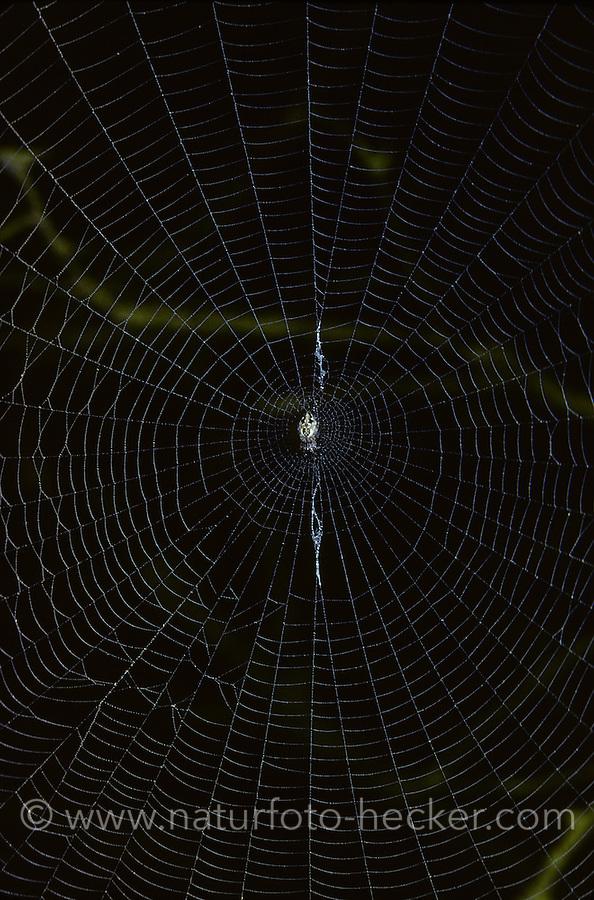 Konusspinne, Konus-Spinne, Konische Kreisspinne, Weibchen im Netz, Cyclosa conica, Trashline Orbweaver, female. Spinne des Jahres 2016