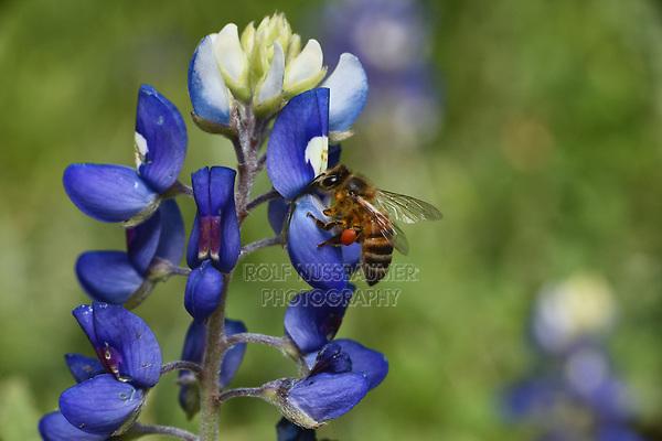 Honey bee feeding on Texas Bluebonnet, Texas