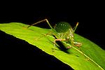 Katydid (Tettigoniidae) cleaning antenna, Tawau Hills Park, Sabah, Borneo, Malaysia