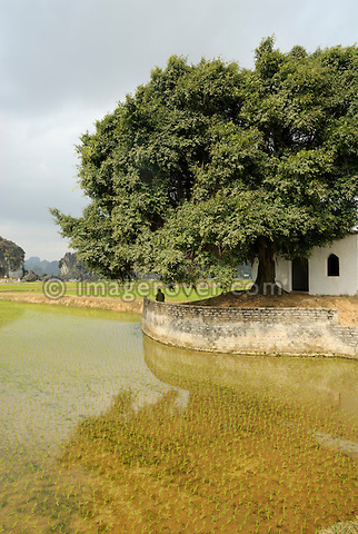 Asia, Vietnam, Ninh Binh, near Hoa Lu. Rice field.