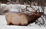 An individual bull elk munches on branches growing through the snow in Yellowstone National Park.