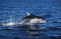 nb118. Pacific White-sided Dolphin (Lagenorhynchus obliquidens) leaping. British Columbia, Canada, Pacific Ocean..Photo Copyright © Brandon Cole.  All rights reserved worldwide.  www.brandoncole.com..This photo is NOT free. It is NOT in the public domain...Rights to reproduction of photograph granted only upon payment of invoice in full.  Any use whatsoever prior to such payment will be considered an infringement of copyright...Brandon Cole.Marine Photography.http://www.brandoncole.com.email: brandoncole@msn.com.4917 N. Boeing Rd..Spokane Valley, WA 99206   USA..tel: 509-535-3489