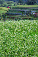 Jatiluwih, Bali, Indonesia.  Rice in Foreground, Rows of Peppers in Middle Distance, Rice in Background.
