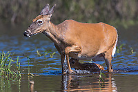 White-tailed doe and fawn crossing a river in northern Wisconsin
