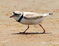 Adult piping plover in breeding plumage at Bolivar Point, TX