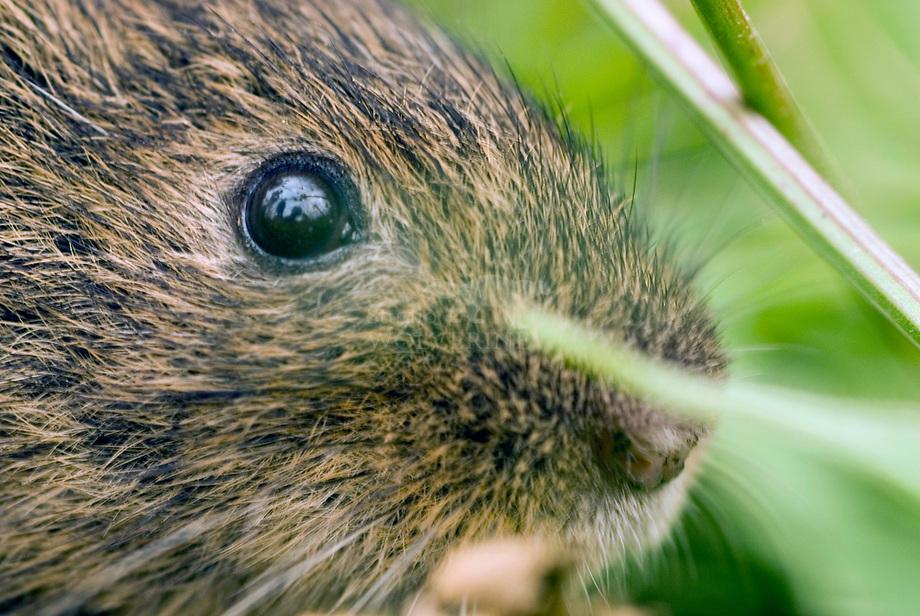 Noordse woelmuis (Microtus oeconomus)
