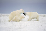 Two polar bears with cub play fight.