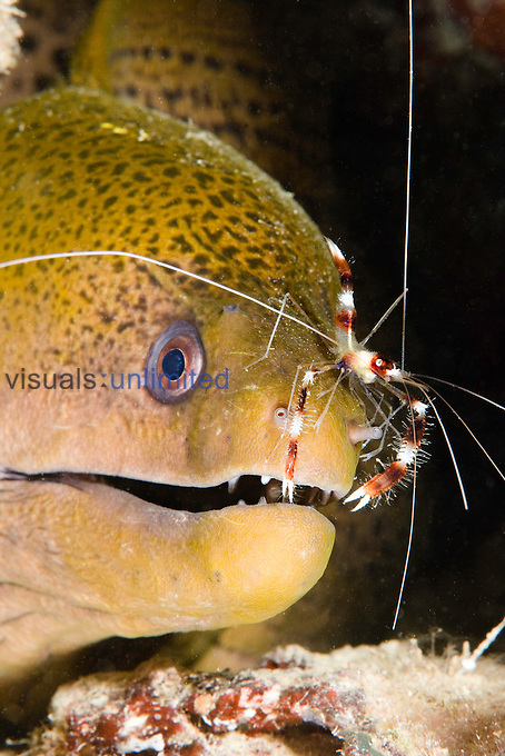 A Banded Boxer Shrimp (Stenopus hispidus) checks this Giant Moray Eel (Gymnothorax javanicus) for parasites, Yap, Micronesia.