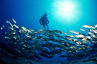 Scuba diver with a school of jacks<br /> Wreck of the General Rogers<br /> U.S. Virgin Islands