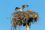 A family of Osprey nesting above the Umatilla River in downtown Pendleton, Oregon