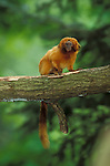 Golden Lion Tamarin, Leontopithecus rosalia rosalia, captive, Brazil, tropical jungle.South America....