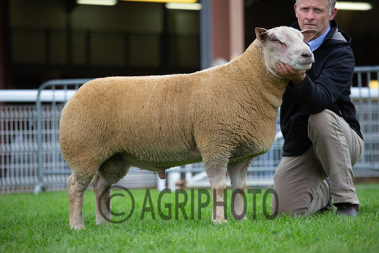 N.S.A Wales & Border Ram Sales, Royal Welsh Showground<br /> Lot 3843 owned by Jonathan Wales sold for 3200gns<br /> ©Tim Scrivener Photographer 07850 303986<br />      ....Covering Agriculture In The UK....
