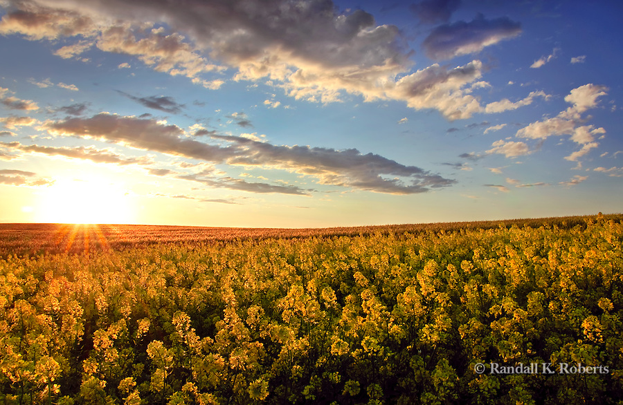 The sun sets on a field of yellow mustard in the rolling hills of Eastern Washington's Palouse Country.