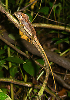 Casque-headed Lizard, Corytophanes cristatus, near Arenal Volcano National Park, La Fortuna, Costa Rica. Also called Helmet-headed Lizard, Helmeted Basilisk, or Smooth-helmeted Iguana